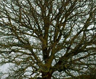 oak tree - detail